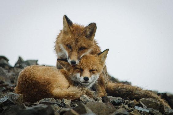 wild-foxes-ivan-kislov-21