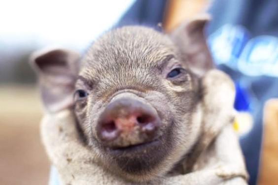 Pork55503