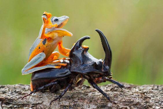 frog-riding-beetle-hendy-mp-2