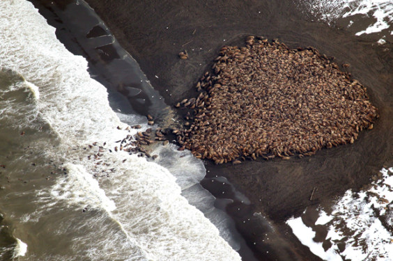 In this aerial photo taken on Sept. 23, 2014 and released by NOAA, some 1500 walrus are gather on the northwest coast of Alaska. Pacific walrus looking for places to rest in the absence of sea ice are coming to shore in record numbers, according to NOAA. (AP Photo/NOAA, Corey Accardo)